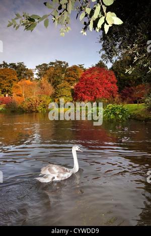Swan captured on the lake at Mount Stewart, Northern Ireland. - Stock Image