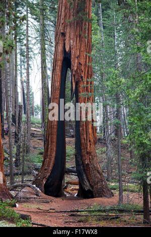 The Clothespin Tree in Mariposa Grove, Yosemite National Park, California, USA - Stock Image