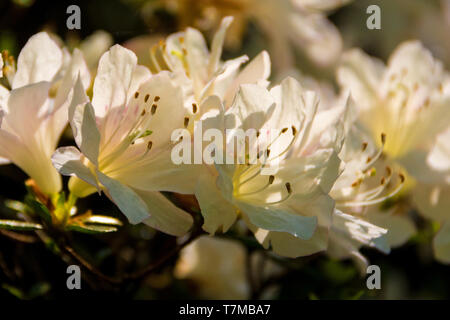 Flowers on a white Azalea bush growing in partial shade in a garden in north east Italy - Stock Image