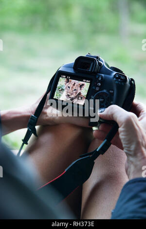Woman looking at lion picture on camera screen - Stock Image