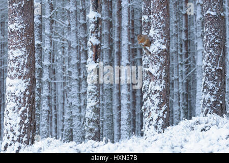 Red squirrel (Sciurus vulgaris) in pine forest during winter snow shower. Cairngorms National Park, Scotland. February - Stock Image
