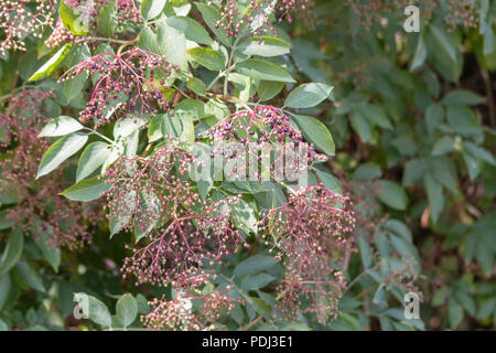 Clusters of unripe and ripening elderberries against a backdrop of elderberry leaves - Stock Image