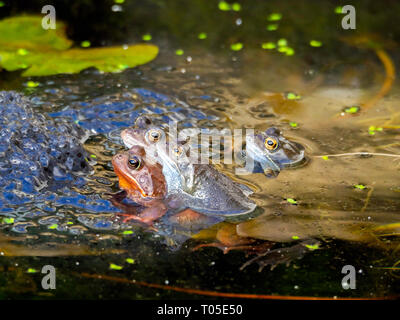 Mating Common Frogs 'Rana temporaria' in a garden pond on a sunny spring day - Stock Image