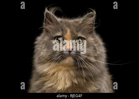 Portrait of Cute Munchkin Cat tortoise fur, with big eyes Stare in camera Isolated Black background, front view - Stock Image