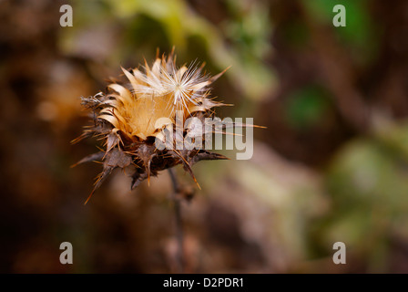 Silybum marianum, Carduus marianus - Dried Milk Thistle Seed Head Crown. Also  Blessed Milk Thistle and Our Lady's - Stock Image