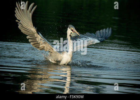 Cocoi Heron or White-necked Heron, Ardea cocoi, wings outspread, a fish in its beak, in the Pantanal, Mato Grosso, - Stock Image