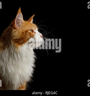 Portrait of Ginger Maine Coon Cat with white chest Stare at side Isolated on Black Background, profile view - Stock Image