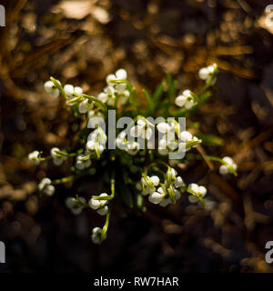 High Angle View of Snowdrops Emerging through Fallen Leaves - Stock Image