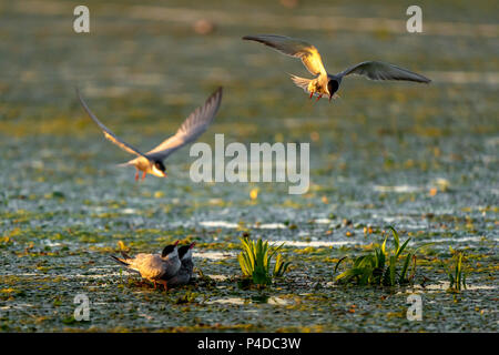White Cheek Tern family and nest with Tern in flight in Danube Delta - Stock Image