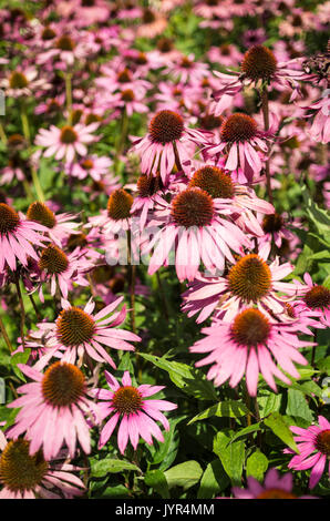 View of densely planted Echinacea Purpurea in a garden in the UK - Stock Image