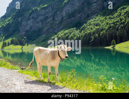 Little calf at Seealpsee - Stock Image