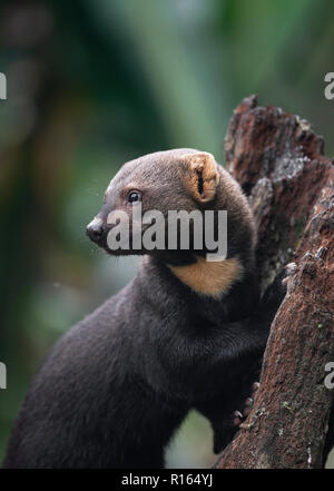 A Tayra (Eira barbara) from the Atlantic Rainforest of SE Brazil - Stock Image