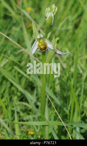Flower and buds on the flowering head of the yellow form of Bee Orchid (Ophrys apifera var chlorantha). Rye Harbour Nature Reserve. Rye, Sussex, UK - Stock Image