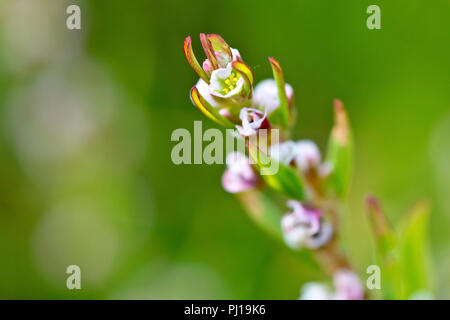 Knotgrass (polygonum aviculare), close up of one of the tiny flowers with low depth of field. - Stock Image