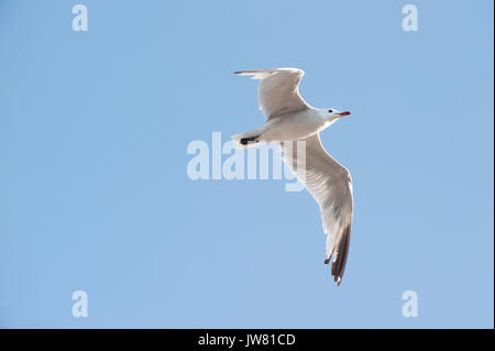 Audouin's Gull, (Larusaudouinii), in flight, Ibiza, Balearic Islands, Spain, Mediterranean Sea - Stock Image