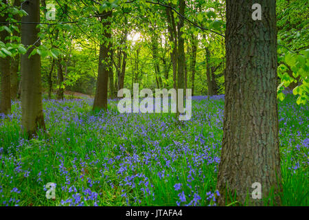 Bluebells in ancient woodland of Gillfield Wood, Totley, Sheffield, South Yorkshire, England, United Kingdom, Europe - Stock Image