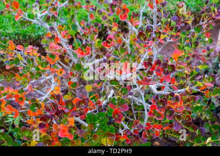 Soft focus of a the red and green leaves of a succulent plant - Stock Image