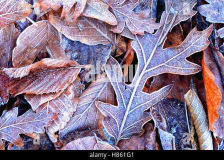 leaves on the ground covered with ice in winter - Stock Image