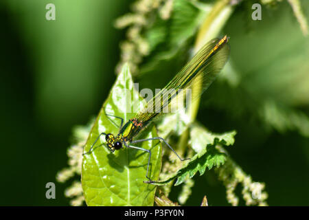 Female banded demoiselle perched on a bindweed leaf wrapped around a nettle - Stock Image