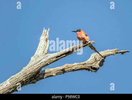Southern Carmine Bee-eater perched on a branch.  Chobe, Botswana. - Stock Image