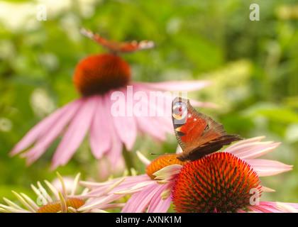 Small Tortoiseshell (Nymphalis urticae) butterflies - Stock Image