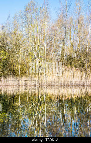 Reflected trees in one of the lakes at the Cotswold Water Park. - Stock Image