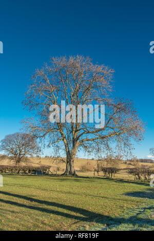 Silhouette of a bare Ash tree against a deep blue clear sky in strong winter sunshine with copy space - Stock Image