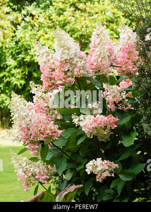 White summer flowers of the hardy shrub, Hydrangea paniculata 'Pinky Winky', age to pink as summer moves into Autumn - Stock Image