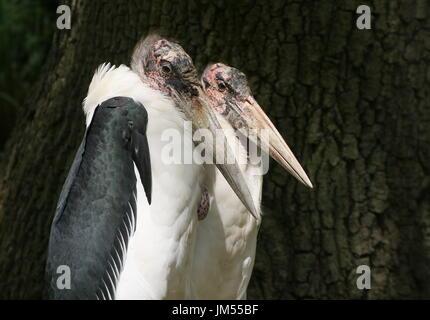Duo portrait of a male and female African Marabou Stork (Leptoptilos crumeniferus). - Stock Image