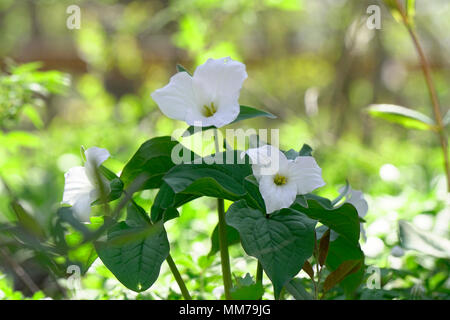 White trillium is the Provincial Flower of Ontario and also a symbol of health care system in Ontario. Photographed in Hendrie Park, Royal Botanical G - Stock Image