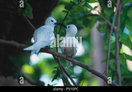 'LOVE BIRDS' ON BIRD ISLAND AND ISLAND VIEW, SEYCHELLES, ISLAND, EAST AFRICA. JUNE 2009. The beautiful islands of the Seychelles in the Indian Ocean o - Stock Image