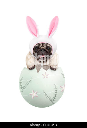 funny cute  pug puppy dog wearing bunny ears, sitting in pastel green easter egg, isolated on white background - Stock Image