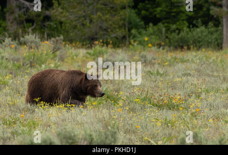 Grizzly Bear in Summer Field in Grand Tetons wilderness - Stock Image