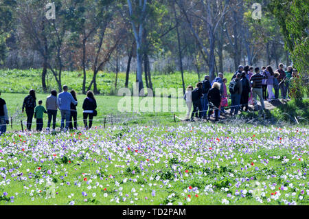 Israel, A field of spring wildflowers Anemone coronaria (Poppy Anemone). This wildflower can appear in several colours. Mainly red, purple, blue and w - Stock Image