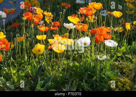 Orange yellow and white poppies with back lighting in a park flower bed in Place de l'Hotel de Ville St Quentin Aisne France - Stock Image