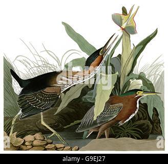 Green-backed Heron, Butorides striatus, birds, 1827 - 1838 - Stock Image