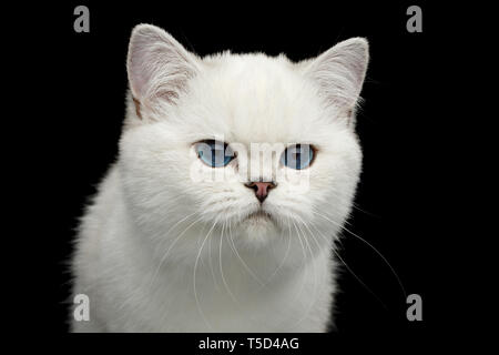 Portrait of British White Cat with blue eyes seek on Isolated Black Background, front view - Stock Image