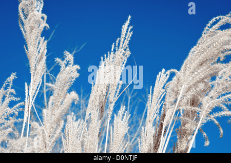 Wheat style or ornamental grass at the end of fall. - Stock Image