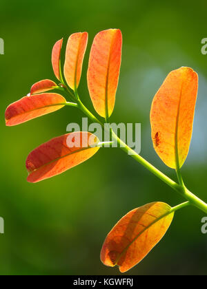 New leaves growing after Indian monsoons - Stock Image