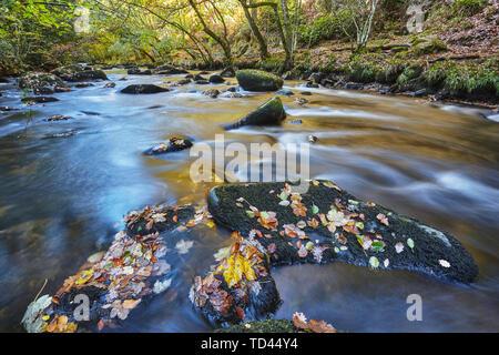 An autumn view, with autumn colours, of ancient woodland lining the River Teign, near Fingle Bridge, Dartmoor National Park, Devon, England, United Ki - Stock Image