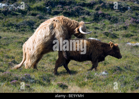Highland cattle mating Isle of Lewis Outer Hebrides Western Isles Scotland UK GB Europe - Stock Image