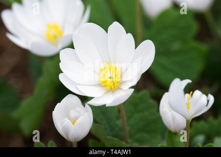 Sanguinaria canadensis flowers. - Stock Image
