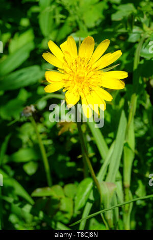 european hawkweed hieracium lachenalii bright yellow flowering weed growing in an overgrown garden zala county hungary - Stock Image