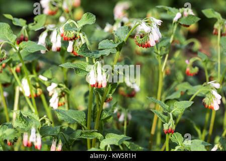 Comfrey, Symphytum Hidcote pink - Stock Image