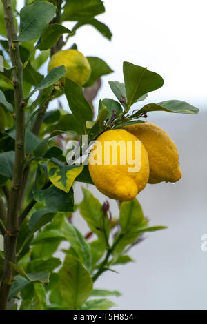 Ripe yellow lemons, tropical citrus fruits hanging on tree with water drops in rain close up - Stock Image