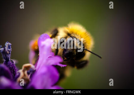 Bumble Bee - Stock Image