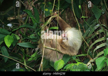 Hoffman's Two-toed Sloth (Choloepus hoffmanni) in rainforest, La Selva Biological Station, Costa Rica. - Stock Image