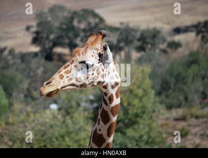 giraffe looking around - Stock Image