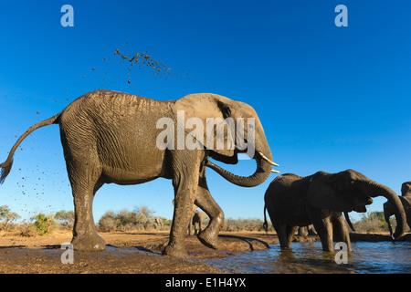 African elephants (Loxodonta africana) cooling off at watering hole, Mashatu game reserve, Botswana, Africa - Stock Image
