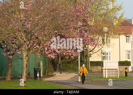 Aberystwyth Wales UK, Wednesday 17 April 2019. UK Weather: People walking past the flowering pinkcherry blossoms in the park on a warm and sunny spring morning in Aberystwyth Wales, as the weather is headed on an improving track as the country looks forward to the Easter Bank Holiday weekend photo Credit: Keith Morris/Alamy Live News - Stock Image